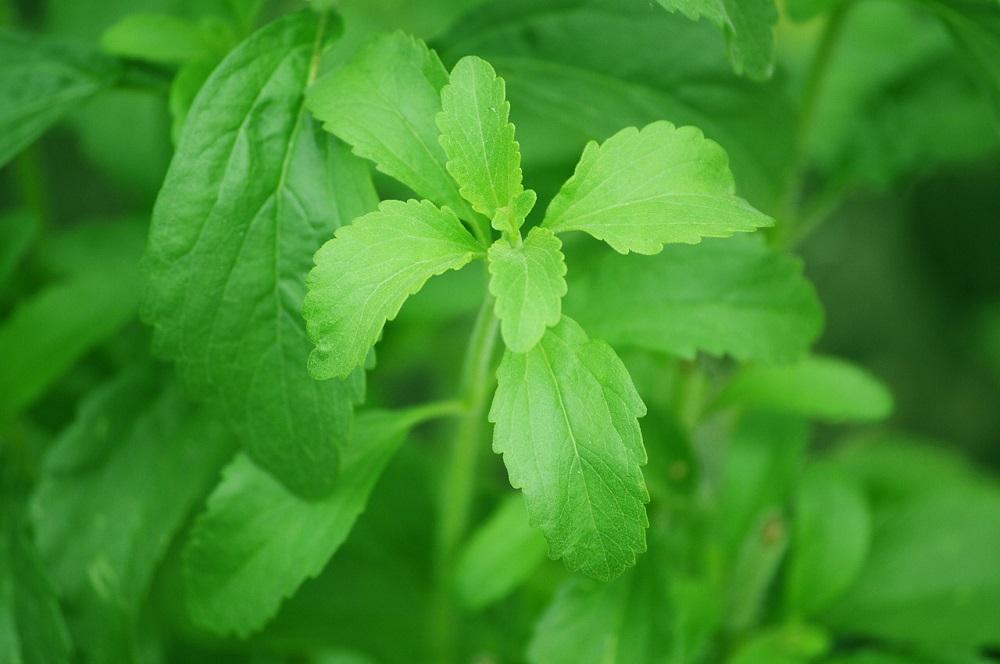 stevia, le foglie